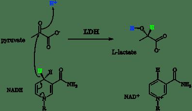 1599px-Lactate_dehydrogenase_mechanism